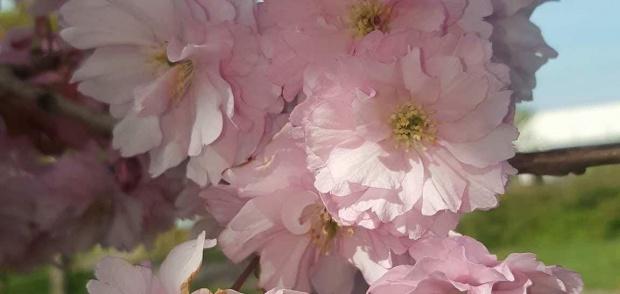 billede af lyserøde blomster fra kirsebærtræ