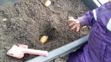 Fra jord til bord, kartofler
